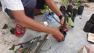 Video Cara Stek Manggis dengan Nature Stek download MP3, 3GP, MP4, WEBM, AVI, FLV Juli 2018