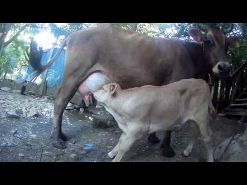 Cow farming is best way of  Dairy products .             My Edited Video
