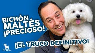 ¡¡¡NO LO RAPES!!! ❤ Cuidados básicos del pelo de un Bichón Maltés | Curso Peluquería Canina