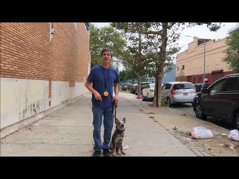 Service Dog Training Tip Australian Cattle Dog, Blue Heeler
