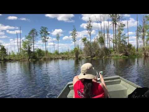 Trip to Okefenokee Swamp: Alligator Central