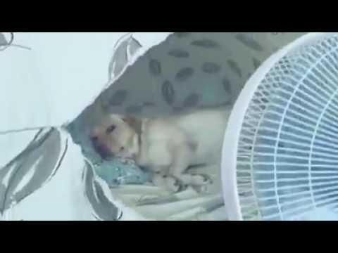 Pets Playhouse Kennel, Mumbai dog Labrador having fun in tent