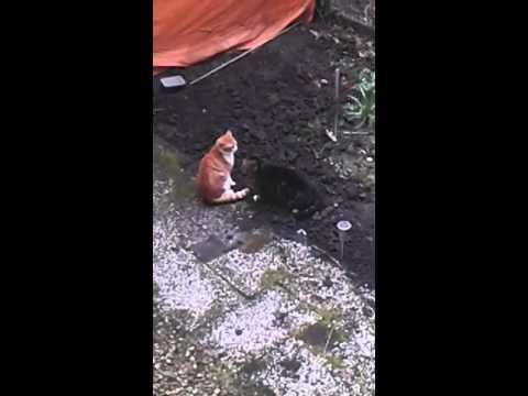Two cats fighting for love.Katten vechten voor liefde