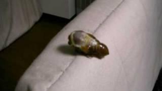 セミの脱皮 羽化 Cicada.