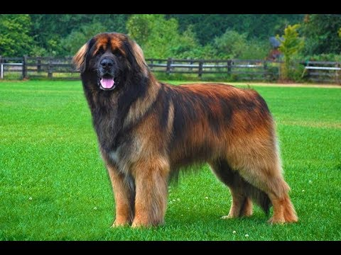 Learn all about the Leonberger dog breed