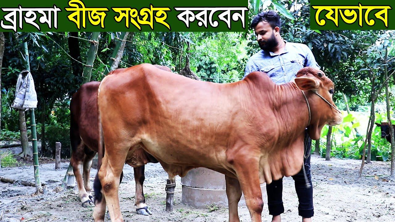 যেভাবে আপনি ও সংগ্রহ  করতে পারবেন ব্রাহমা সিমেন জানুন বিস্তারিত brahma cow farm