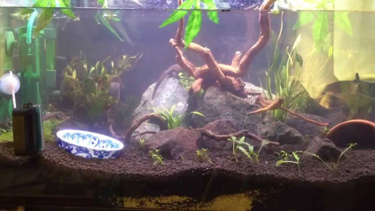 japanese fire belly newt planted aquarium youtube