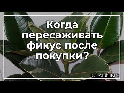 Когда пересаживать фикус после покупки? | toNature.Info