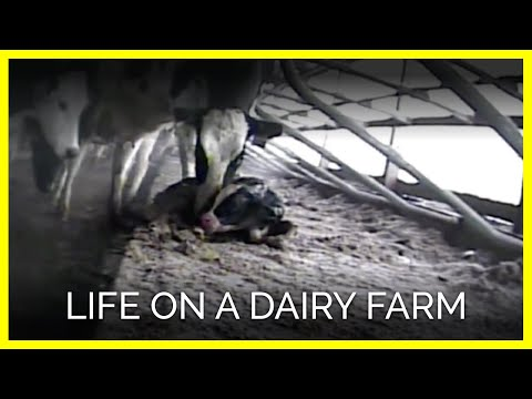 The Life of a Cow (on a Dairy Farm)