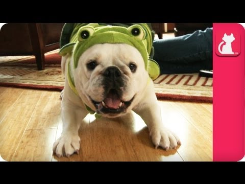 Rescued Bulldog Lily Loves her Turtle Suit - Pet Sense