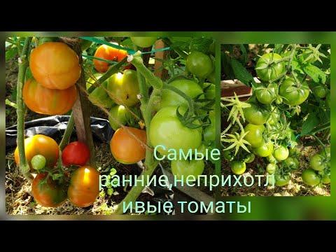 Самые ранние томаты Как вырастить в холодную погоду  Какие сорта лучше?Самран,Катя, Биатлон