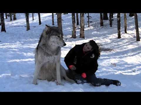 Волците се само големи кучиња