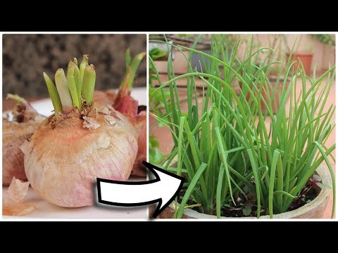 Easy way to Grow Spring Onions - Terrace Garden