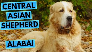 Central Asian Shepherd Dog  Alabai  Facts and Information