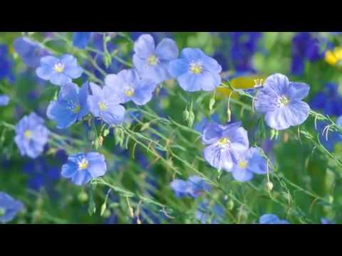 Blauer Staudenlein. Blütenpracht von ganz alleine.