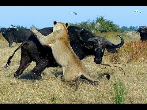 Гангстеры дикой природы — Буйволы (Документальные фильмы HD) - Познавательные и прикольные видеоролики