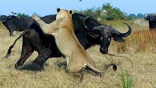 Гангстеры дикой природы — Буйволы (Документальные фильмы HD)