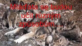 Nezabíjejte vlky