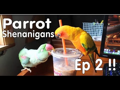 Parrot Shenanigans Episode 2 – Everybirdy is Misbehaving!