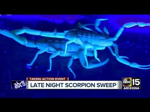 Arizona scorpions: On patrol in one of the Valley