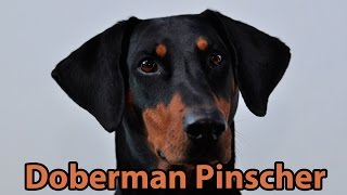 The Right Companion: Doberman Pinscher
