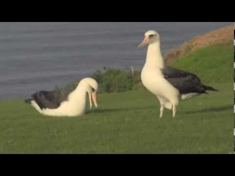 Kauai albatross: first day on land after 6 years at sea