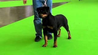 Vikki Iz Tverskogo Doma - Planet Rottweiler / Http://rottweiler-forum.eu