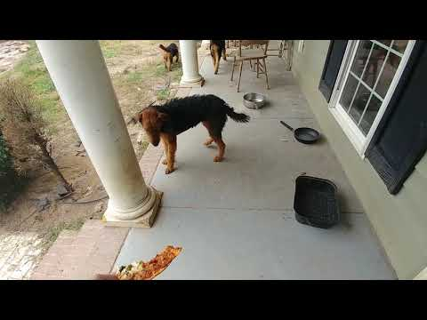 Pizza?  Airedale Terrier Puppy Puppies For Sale On October 15, 2018