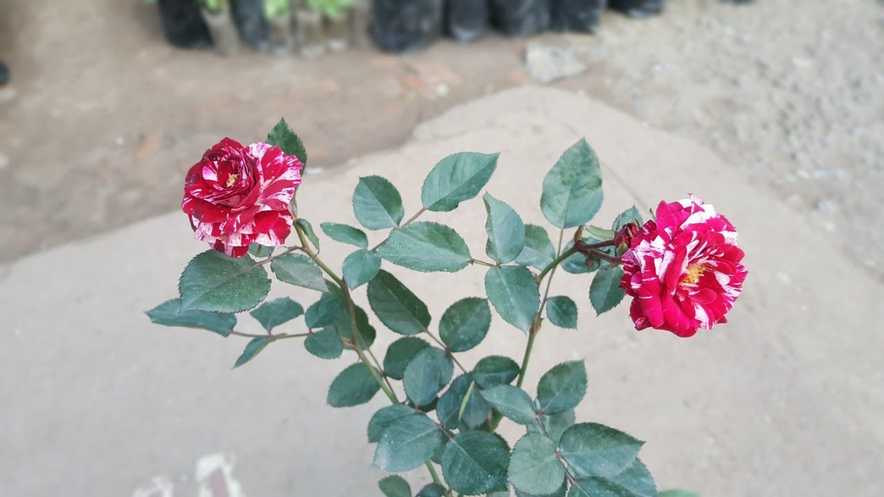 how to grow two color roses tiger rose youtube