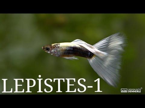 Balık Türleri: Lepistes (1.Bölüm)