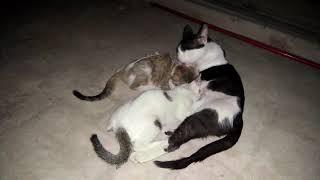 Black & White Cat with Kittens Aged 68 Days Feeding Milk & Sleeping