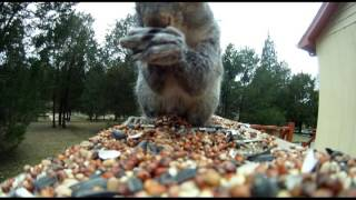 Attack of the Giant Squirrel