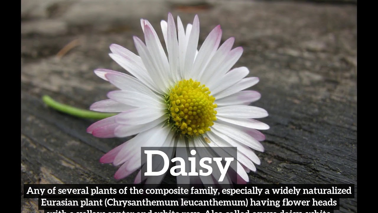 What Is Daisy How Does Daisy Look How To Say Daisy In English