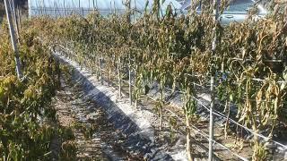 대봉감수확판매