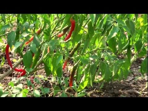 Andhra Pradesh - Largest producer of Chilli Pepper in India