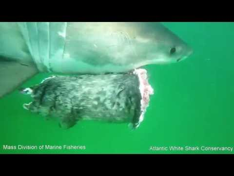 White Shark and Grey Seal