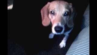 My Beagle Ears Go Up Every Time I Say Walk... :-p