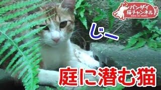 アイちゃん過去映像です。 お庭に潜むアイちゃんです。 バンザイ猫、ア...
