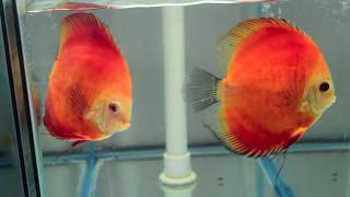 """6"""" DXcus Royal Ruby Red (3R) Discus Possible Pair"""