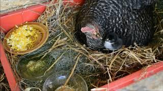 kura i kurczak 2-dniowy cz.1
