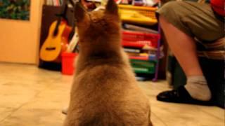 Тренировка щенка западно-сибирской лайки(Небольшое видео по игре-натаскиванию щенка западно - сибирской лайки на лося (лосиными ушами). Щенку полтора..., 2011-03-16T21:51:48.000Z)