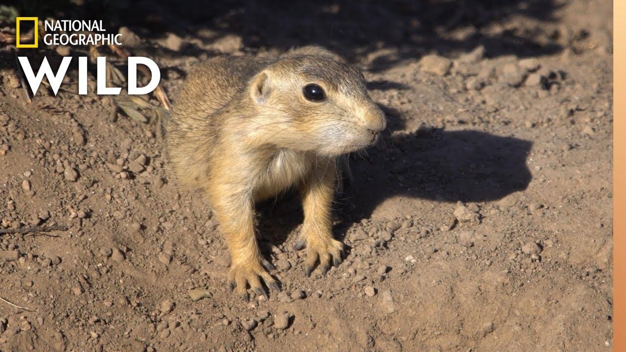Prairie Dog Den Invaded By Fleas | Prairie Dog Manor