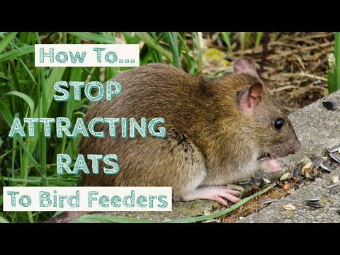 How To Stop Attracting Rats To Bird Feeders