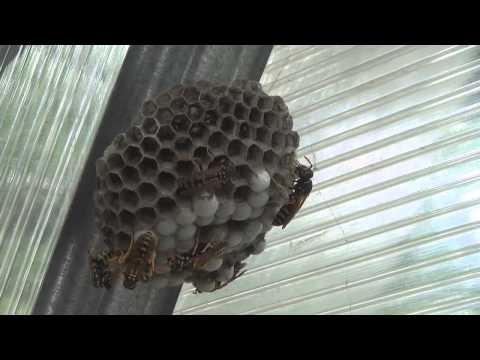 Как уничтожить осиное гнездо. How to destroy the hornets' nest.