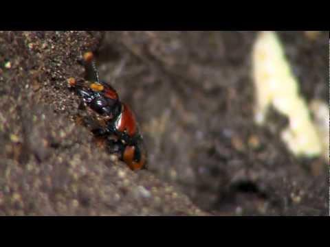 American Burying Beetle - Cincinnati Zoo