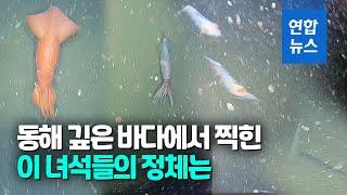 동해 수심 1천m에서 카메라에 잡힌 심해오징어 / 연합…