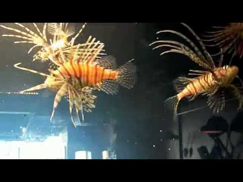 # 26 When Lion Fish Attack 101 - Carl's Aquarium