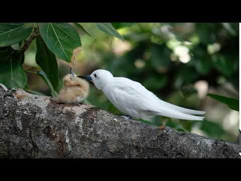 White Tern Chick