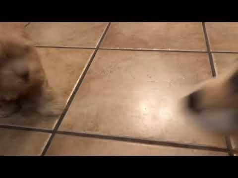 Bolonoodle Puppy 2 months old