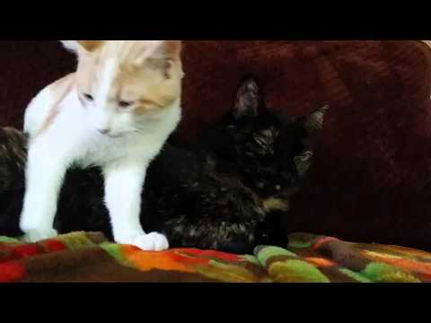 Thumbnail for Cat Video Foster Kitten Uses Her Cuteness To Cuddle